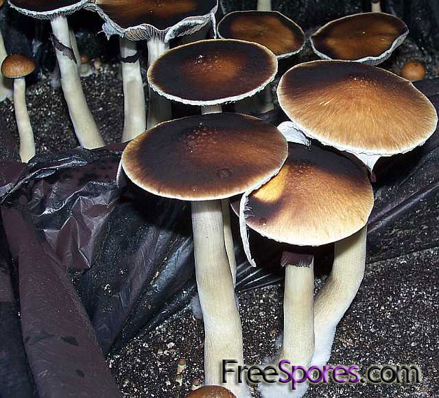 Psilocybe cubensis : South American Spore Syringe