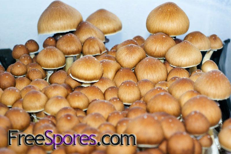 Psilocybe cubensis : Golden Teacher Spore Syringe - $12 95