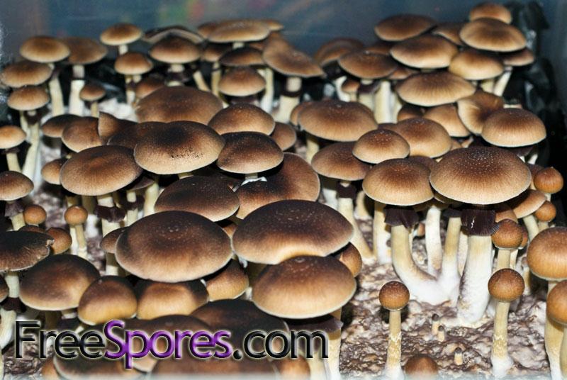 Psilocybe cubensis : Orissa India Spore Syringe - $11.95 ...